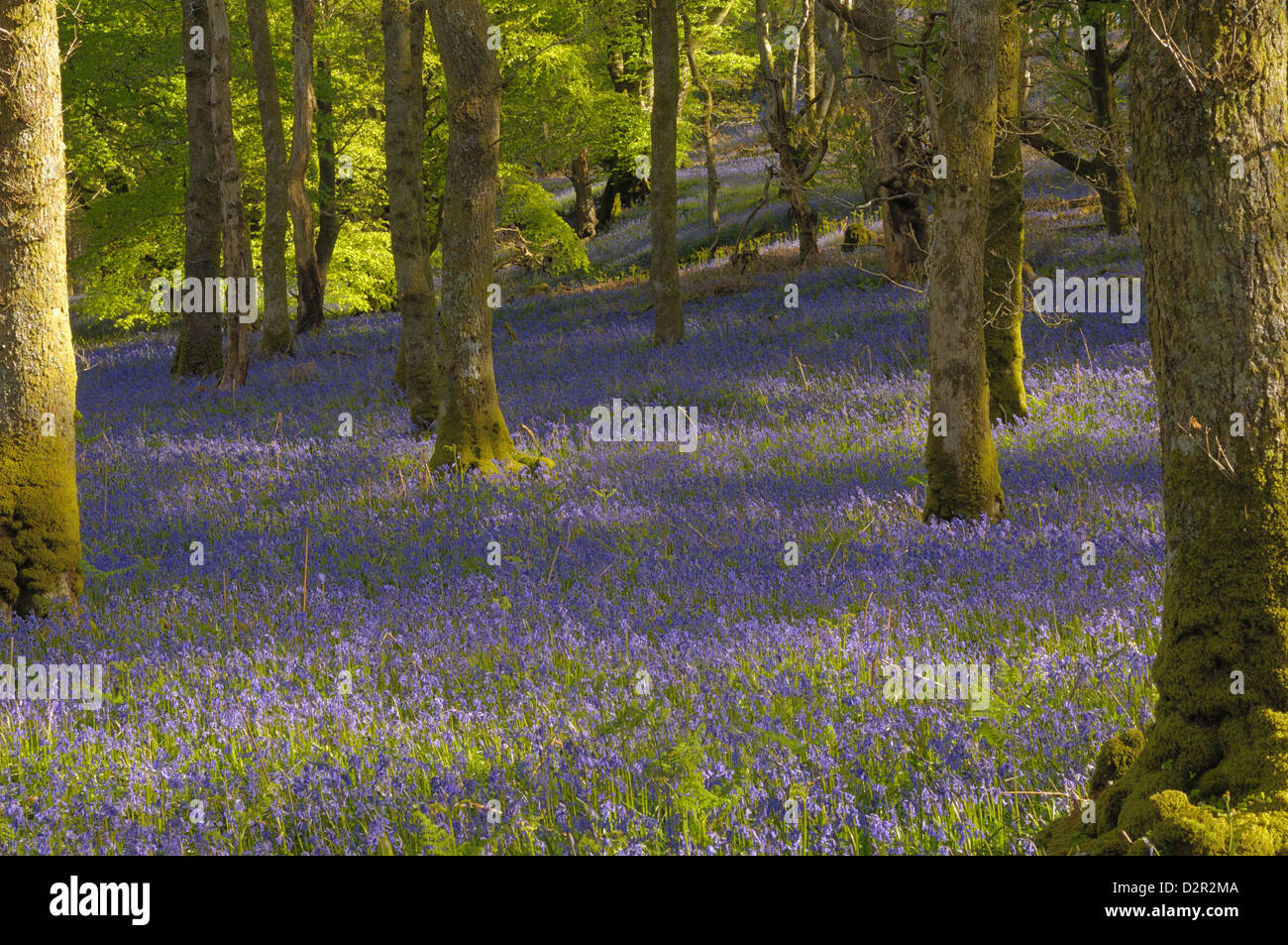Bluebells in Carstramon Wood, Dumfries and Galloway, Scotland, United Kingdom, Europe - Stock Image