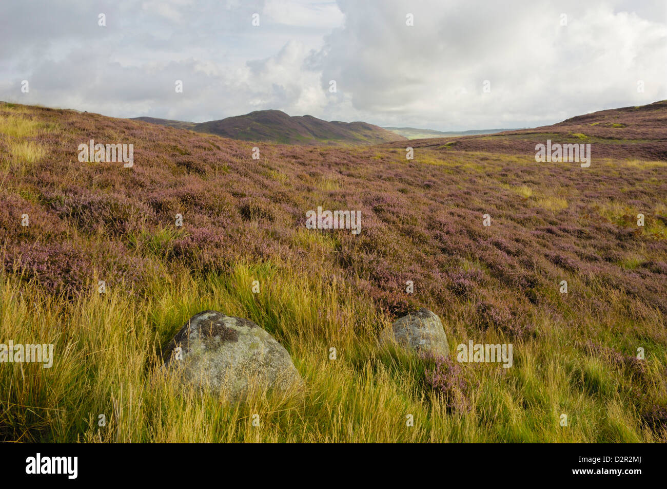 Heather on the Galloway Hills, Castramont Hill looking towards Craig of Grobdale, Dumfries and Galloway, Scotland, - Stock Image