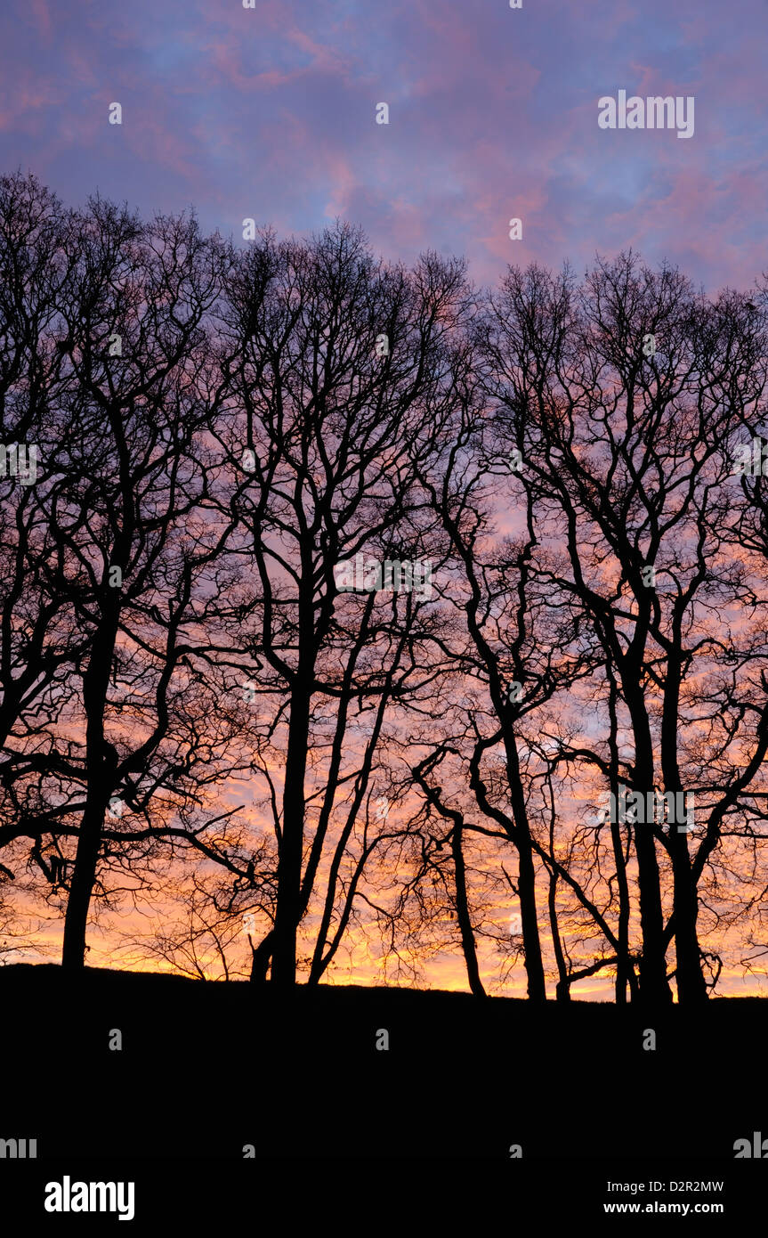 Dawn over copse of oak trees, Dumfries and Galloway, Scotland, United Kingdom, Europe - Stock Image