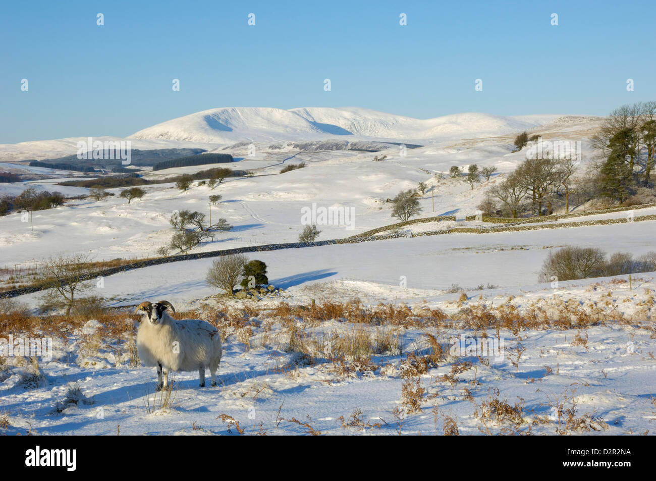 Black faced sheep with Cairnsmore of Fleet in the background in winter snow, Laghead, Dumfries and Galloway, Scotland, - Stock Image