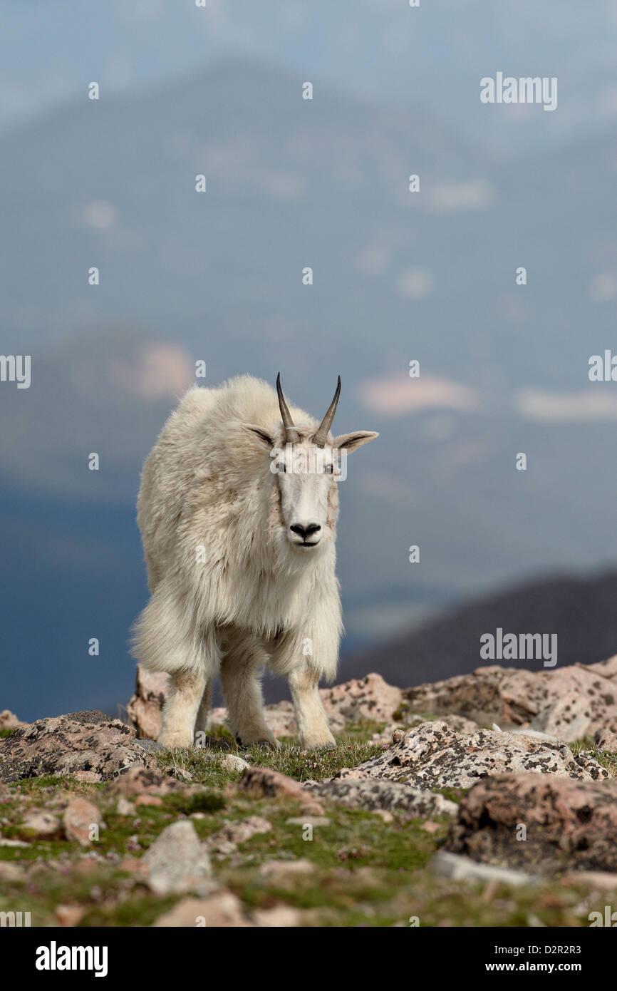 Mountain goat (Oreamnos americanus), Mount Evans, Arapaho-Roosevelt National Forest, Colorado, USA - Stock Image
