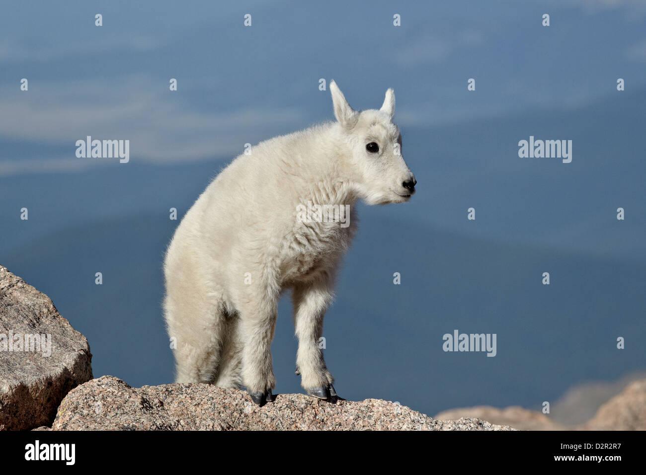 Mountain goat (Oreamnos americanus) kid, Mount Evans, Arapaho-Roosevelt National Forest, Colorado, USA - Stock Image