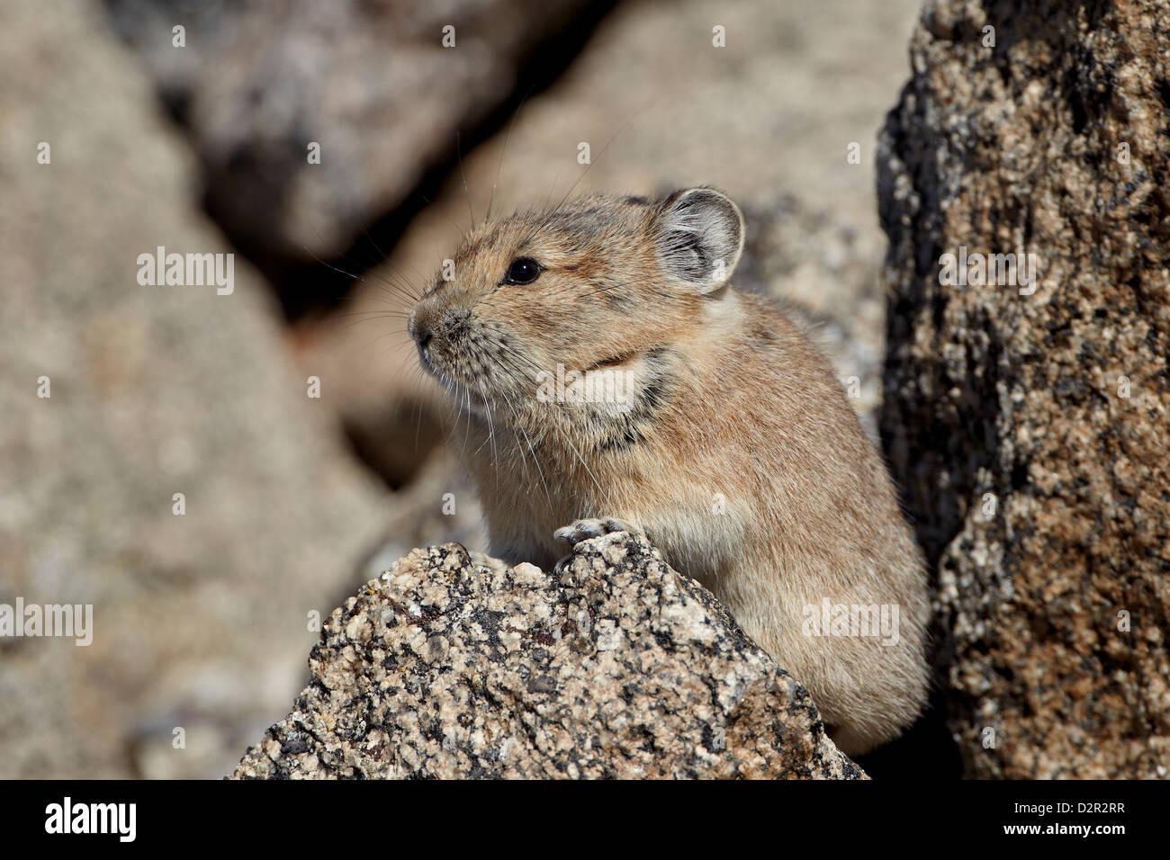 American pika (Ochotona princeps), Mount Evans, Arapaho-Roosevelt National Forest, Colorado, USA - Stock Image