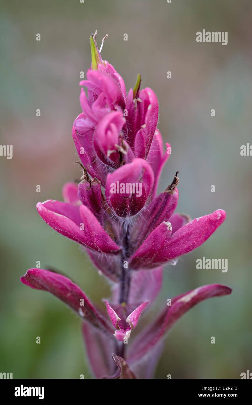 Rosy pintbrush (Castilleja rhexifolia), Gunnison National Forest, Colorado, United States of America, North America Stock Photo