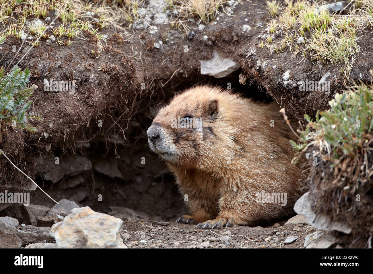 Yellow-bellied marmot (yellowbelly marmot) (Marmota flaviventris) at a burrow entrance, San Juan National Forest, - Stock Image