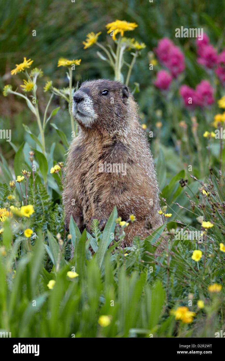 Yellow-bellied marmot (yellowbelly marmot) (Marmota flaviventris) among wildflowers, San Juan National Forest, Colorado, - Stock Image
