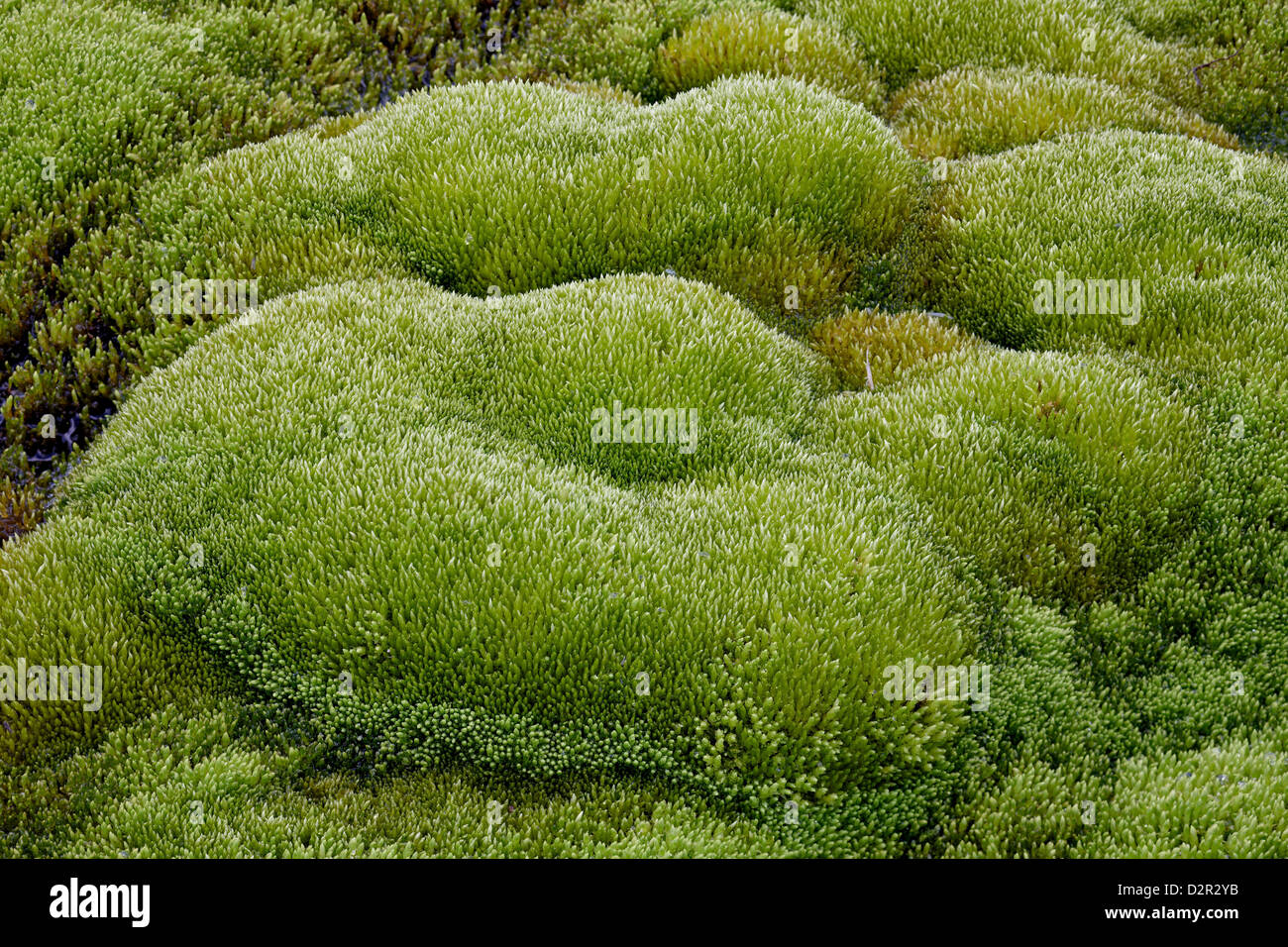 Close-up of moss forms, San Juan National Forest, Colorado, United States of America, North America - Stock Image