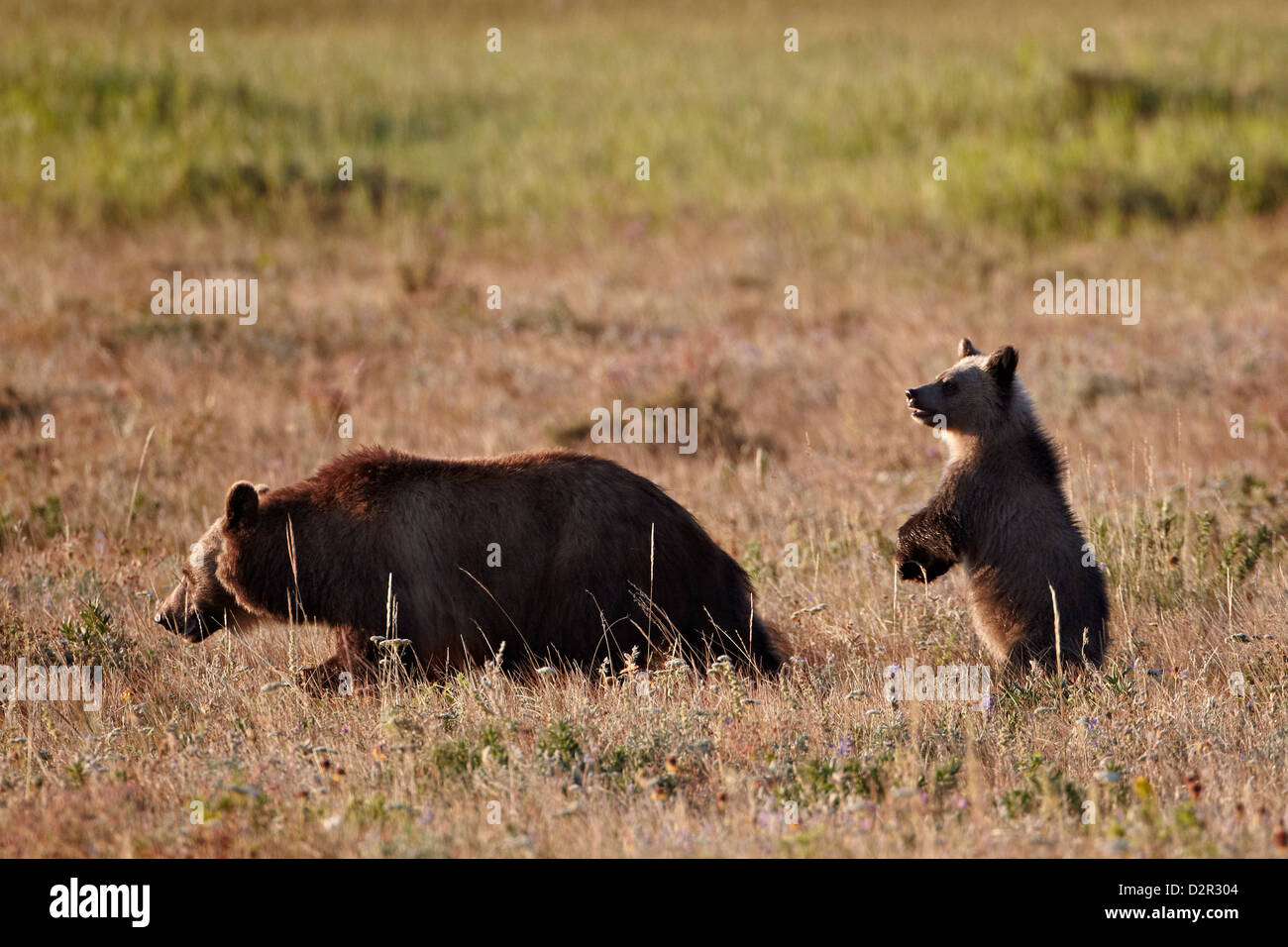 Grizzly bear (Ursus arctos horribilis) sow and yearling cub, Glacier National Park, Montana, USA - Stock Image
