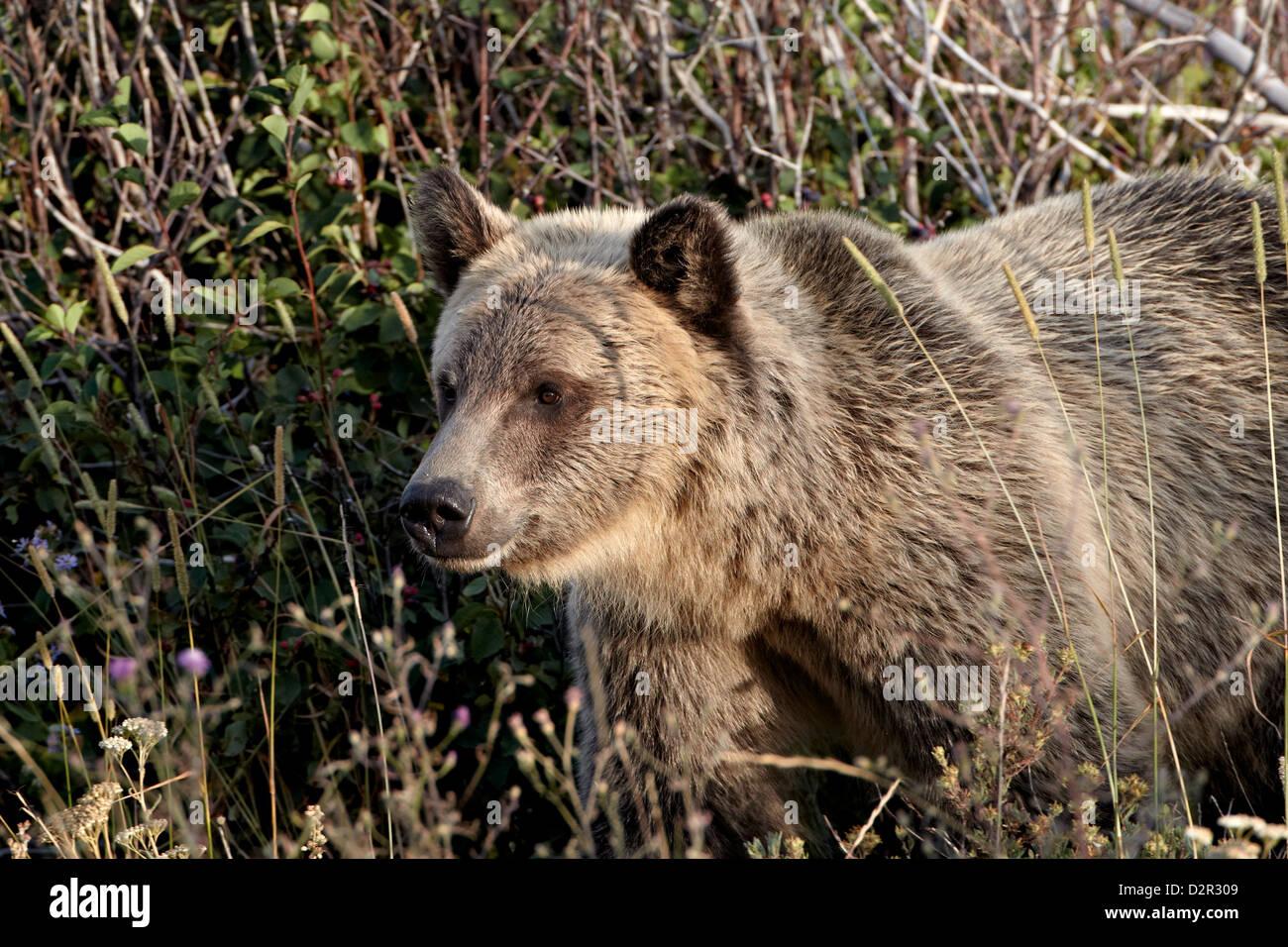 Grizzly bear (Ursus arctos horribilis), Glacier National Park, Montana, United States of America, North America - Stock Image