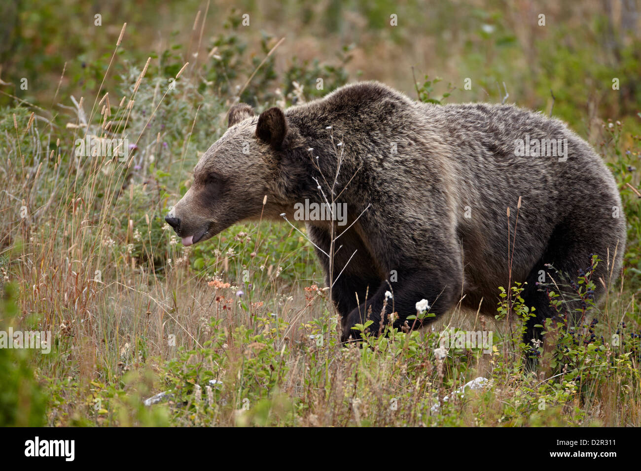 Grizzly bear (Ursus arctos horribilis) with its tongue out, Glacier National Park, Montana, USA - Stock Image