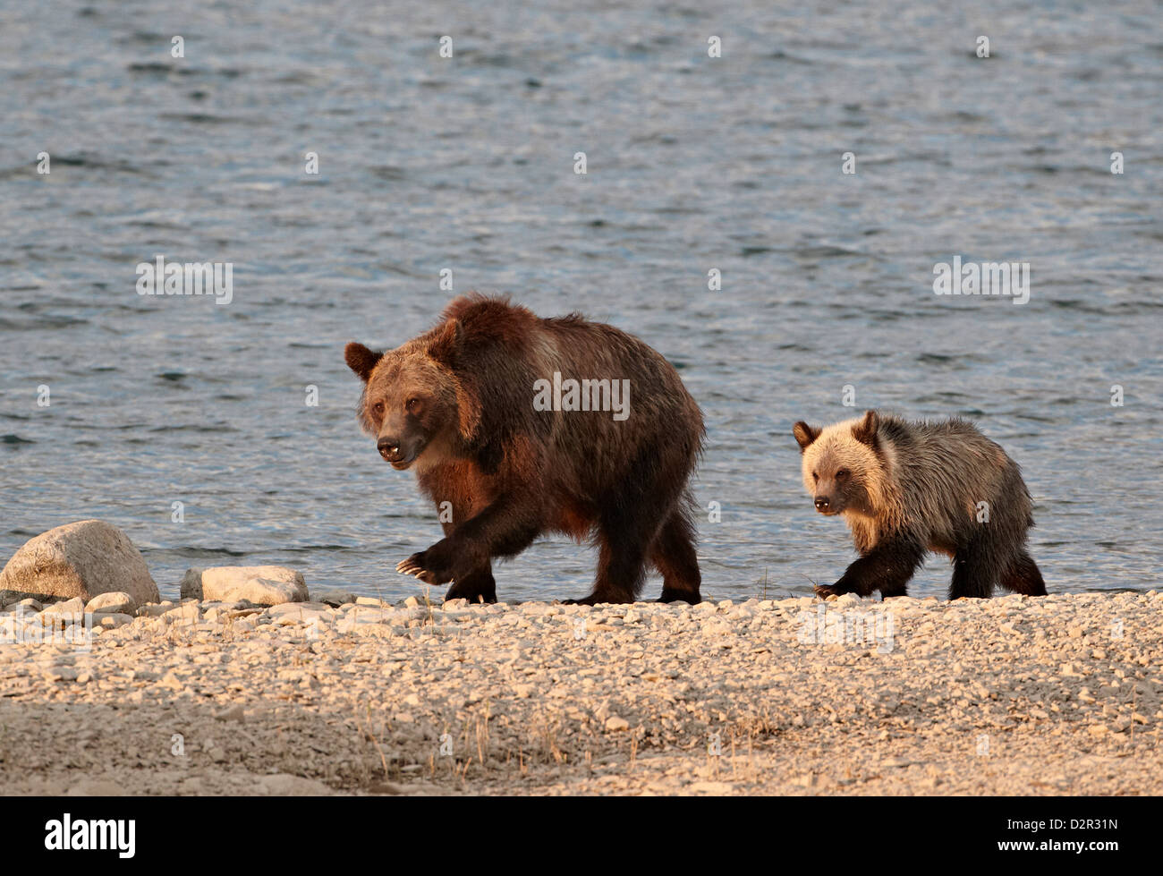 Grizzly bear (Ursus arctos horribilis) sow and yearling cub, Glacier National Park, Montana, USA Stock Photo