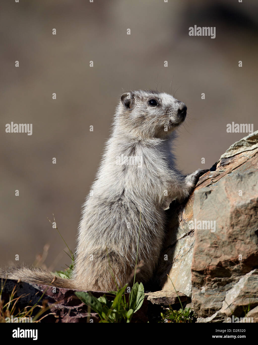 Hoary marmot (Marmota caligata), Glacier National Park, Montana, United States of America, North America - Stock Image