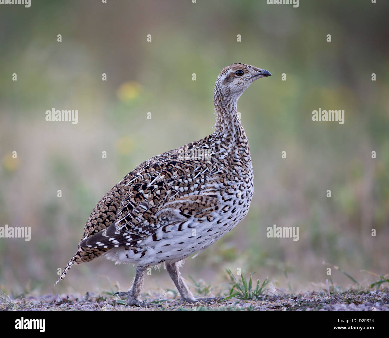 Sharp-tailed grouse (Tympanuchus phasianellus, previously Tetrao phasianellus), Custer State Park, South Dakota, - Stock Image