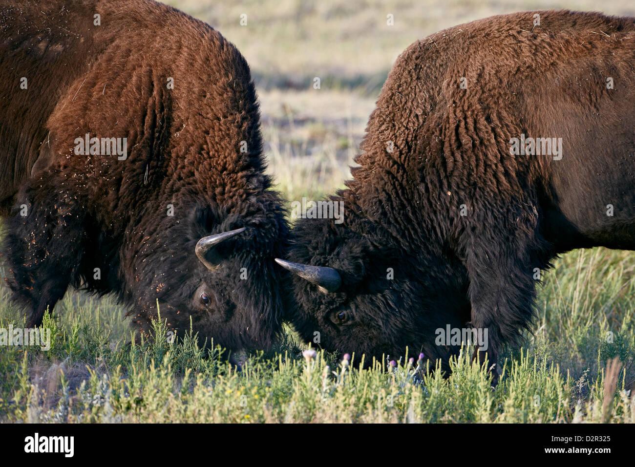 Bison (Bison bison) bulls sparring, Custer State Park, South Dakota, United States of America, North America - Stock Image