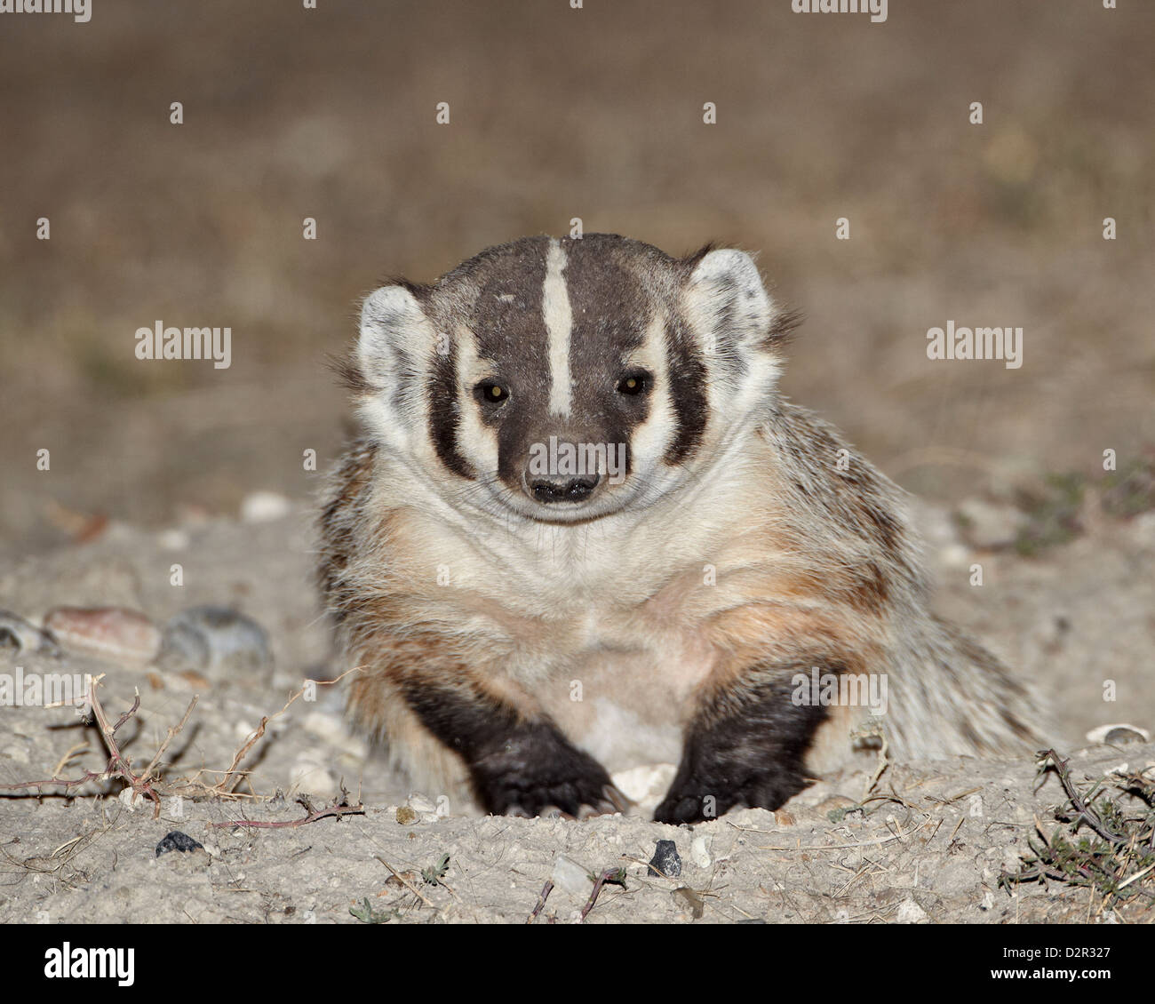 Badger (Taxidea taxus), Buffalo Gap National Grassland, Conata Basin, South Dakota, United States of America, North Stock Photo