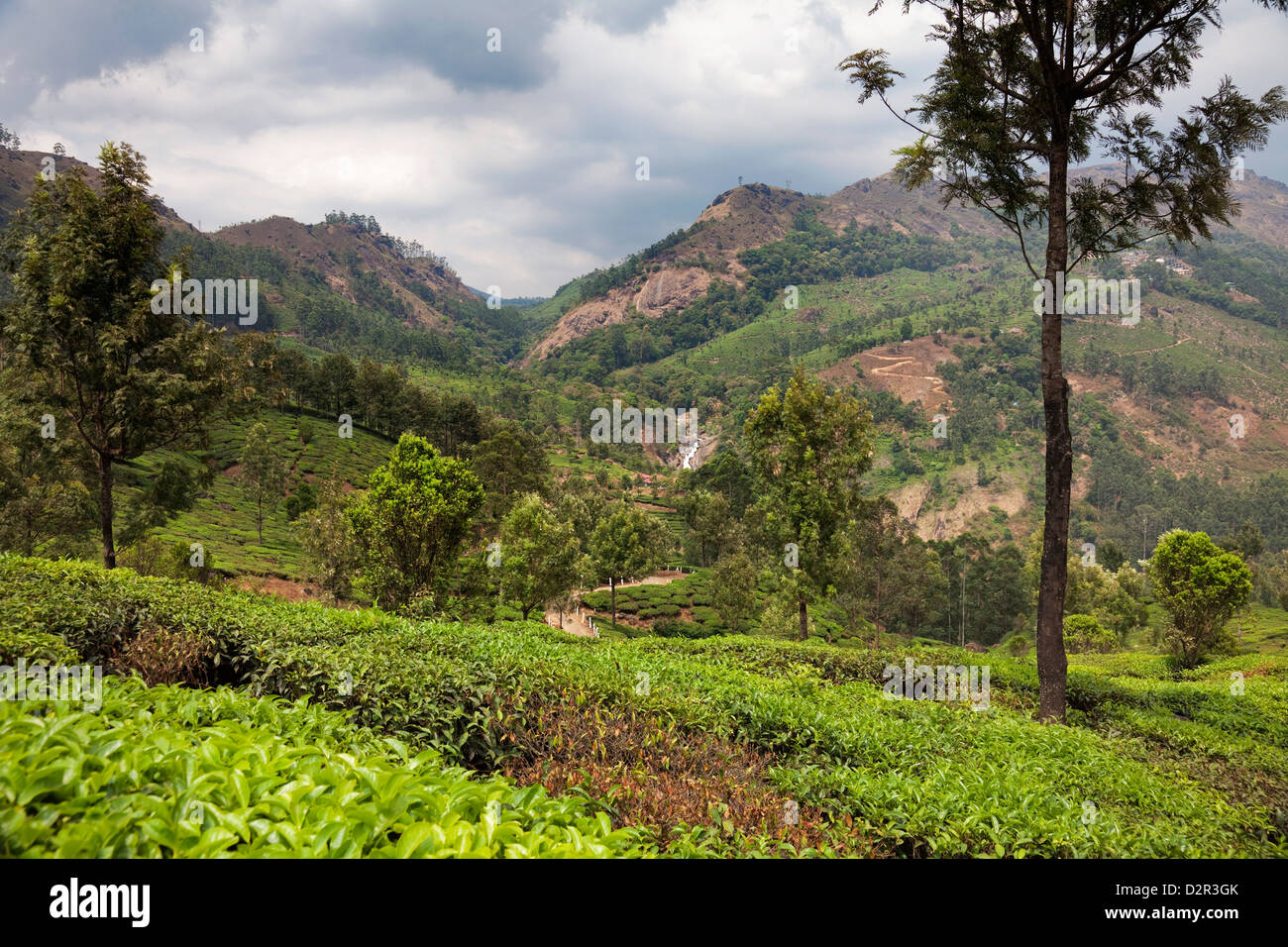 Tea plantations in the mountains of Munnar, Kerala, India, Asia - Stock Image