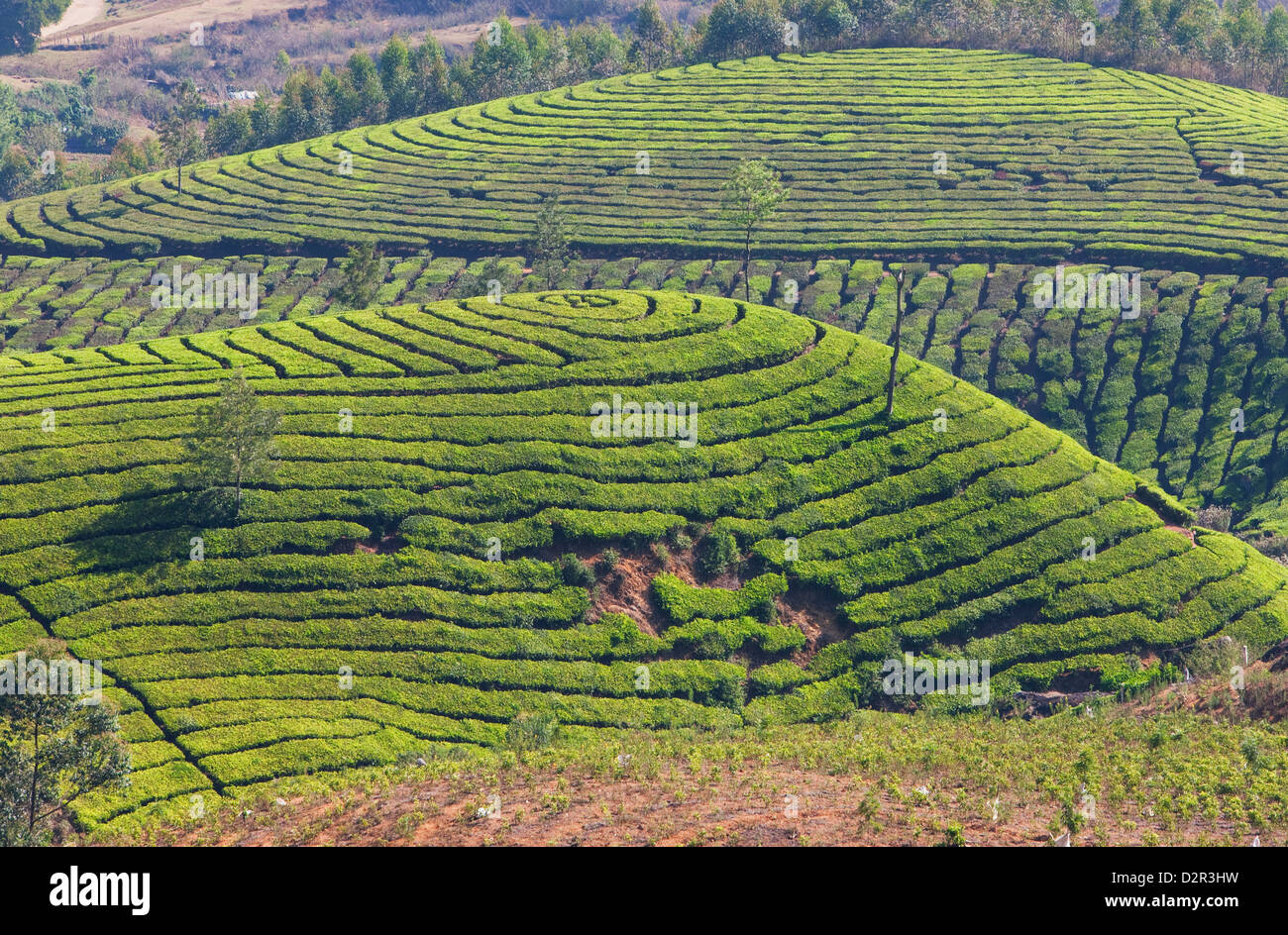 Tea plantation in the mountains of Munnar, Kerala, India, Asia - Stock Image