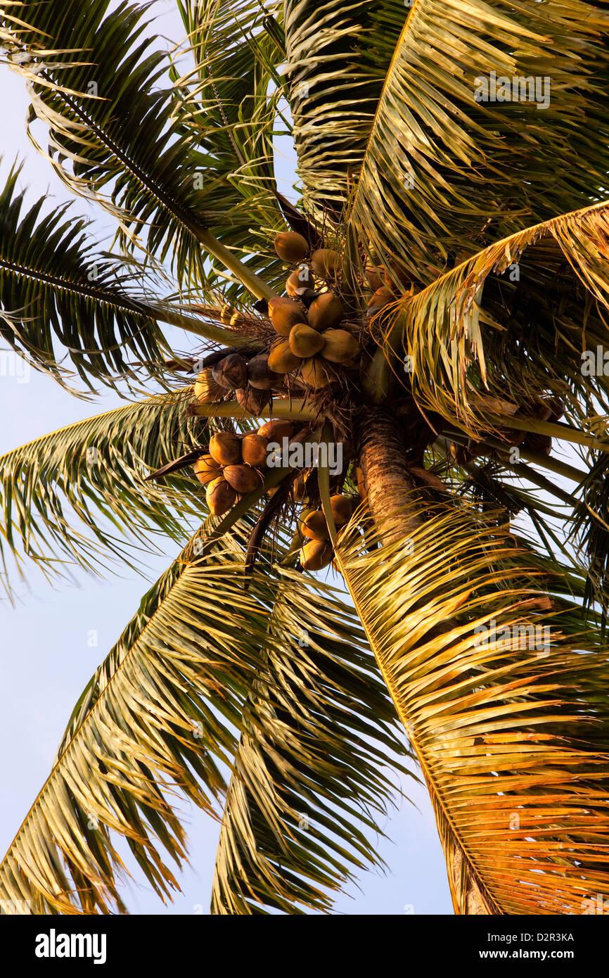 Coconut palm, Kerala, India, Asia - Stock Image