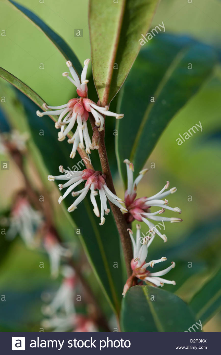 Christmas sweet winter box Sarcococca hookeriana variety dignya 'Purple Stem' - Stock Image