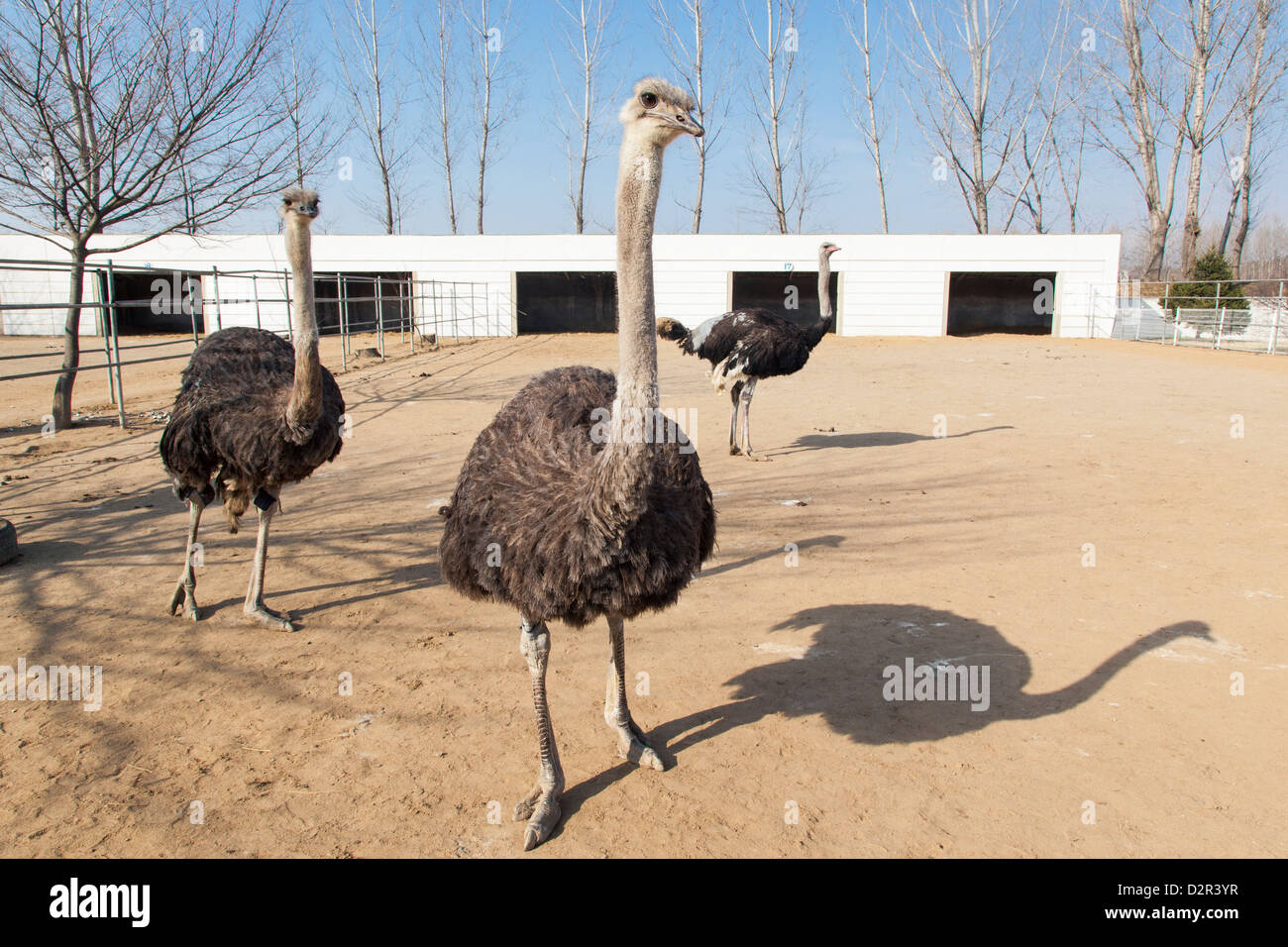 Ostrich farm near Pyongyang which supplies Ostrich meat to some of Pyongyang's restaurants, North Korea - Stock Image