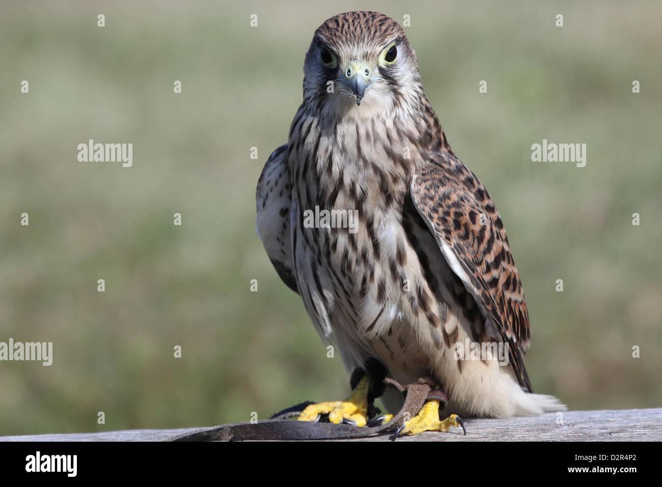 Turmfalke  falco tinnunculus - Stock Image