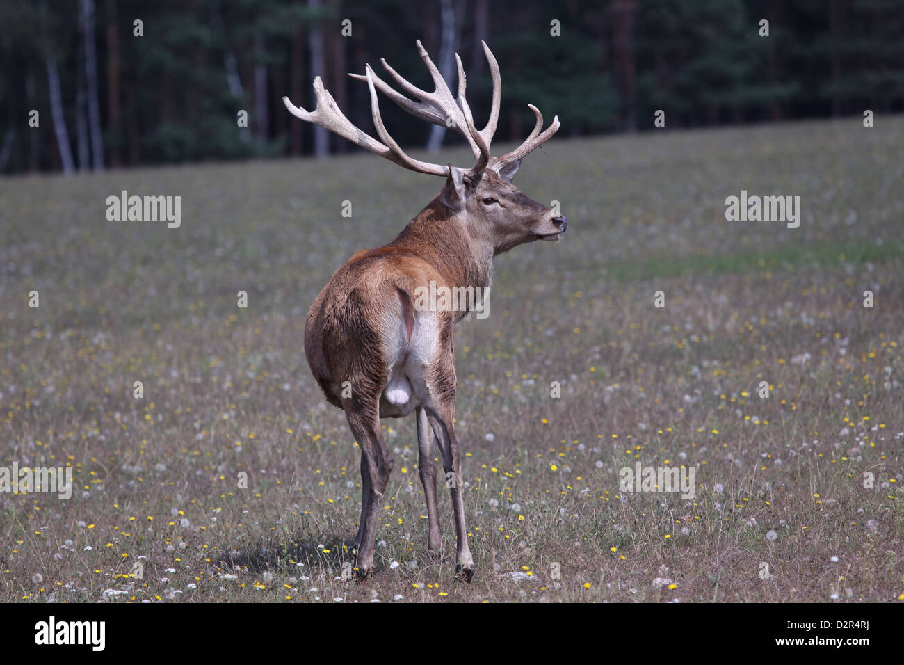 Rothirsch Cervus elaphus Stock Photo
