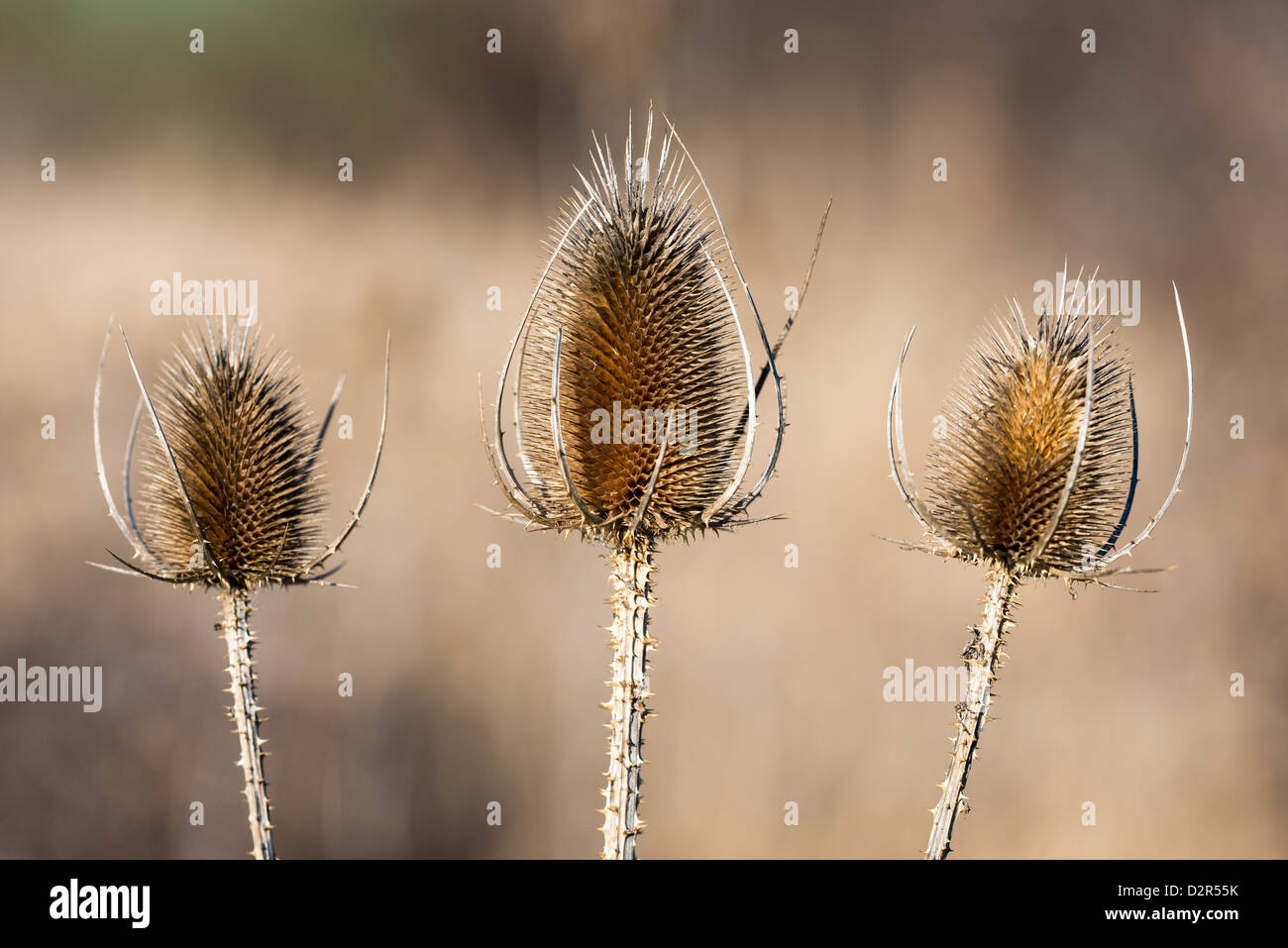 Teasels - Stock Image