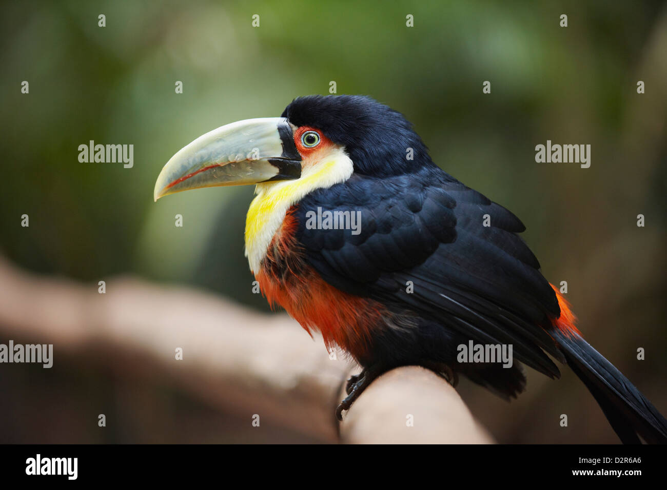 Red-breasted toucan at Parque das Aves (Bird Park), Iguacu, Parana, Brazil, South America - Stock Image