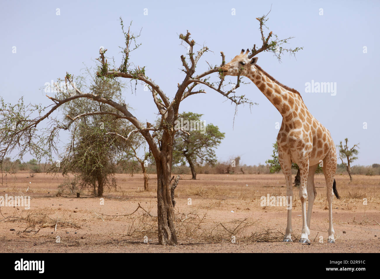 Giraffe in the park of Koure, 60 km east of Niamey, one of the last giraffes in West Africa, Niger, West Africa - Stock Image