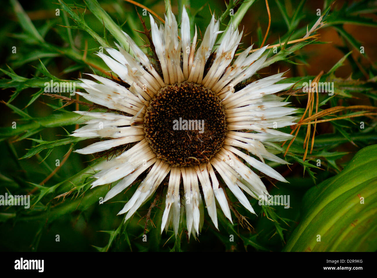 Silver Thistle Carlina Acaulis Stock Photos Silver Thistle Carlina