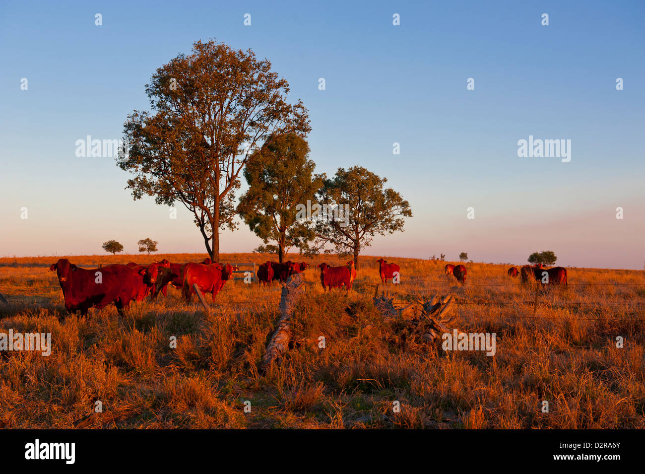 Cattle in the late afternoon light, Carnarvon Gorge, Queensland, Australia, Pacific - Stock Image