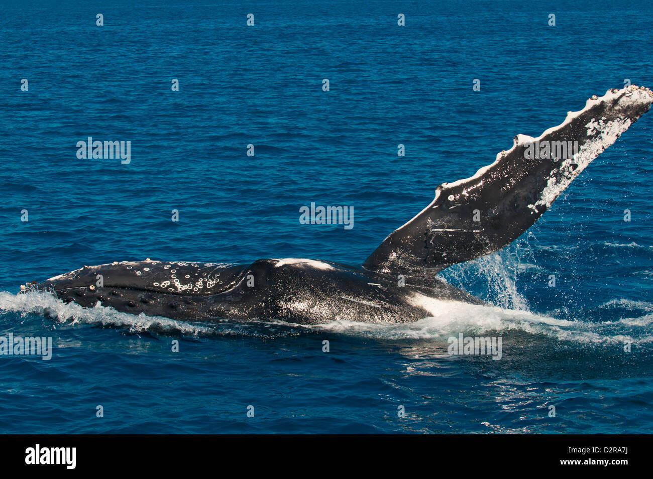 Humpback whale (Megaptera novaeangliae) in Harvey Bay, Queensland, Australia, Pacific - Stock Image