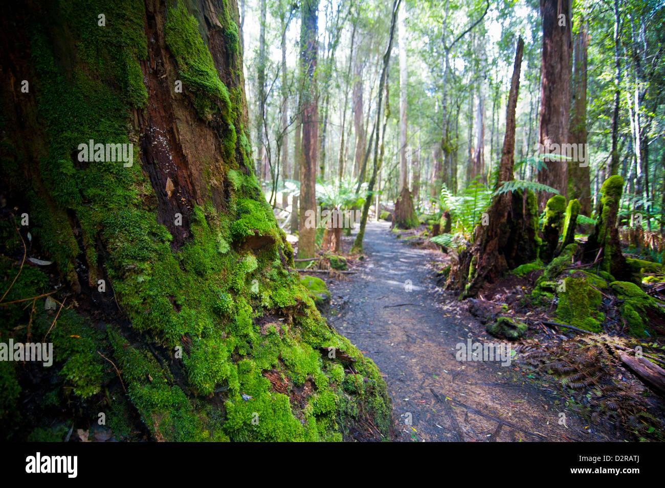 Pandani Grove Nature Trail, Mount Field National Park, Tasmania, Australia, Pacific - Stock Image