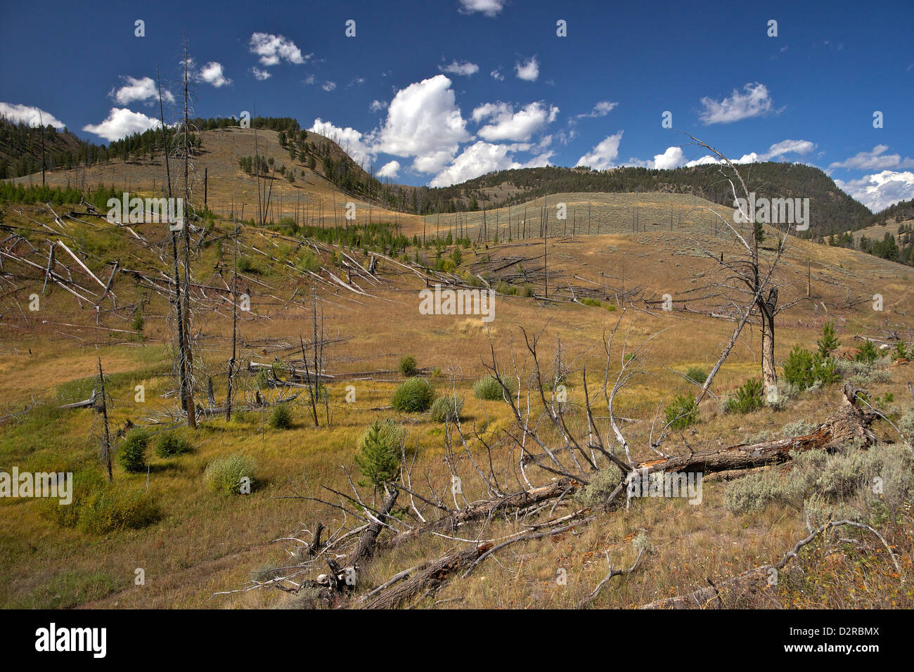 Trunks of lodgepole pines on Blacktail Deer Plateau, Yellowstone National Park, Wyoming, USA - Stock Image