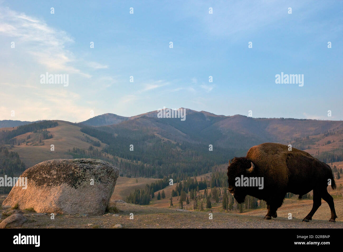 Bison and Mount Washburn in early morning light, Yellowstone National Park, Wyoming, USA - Stock Image