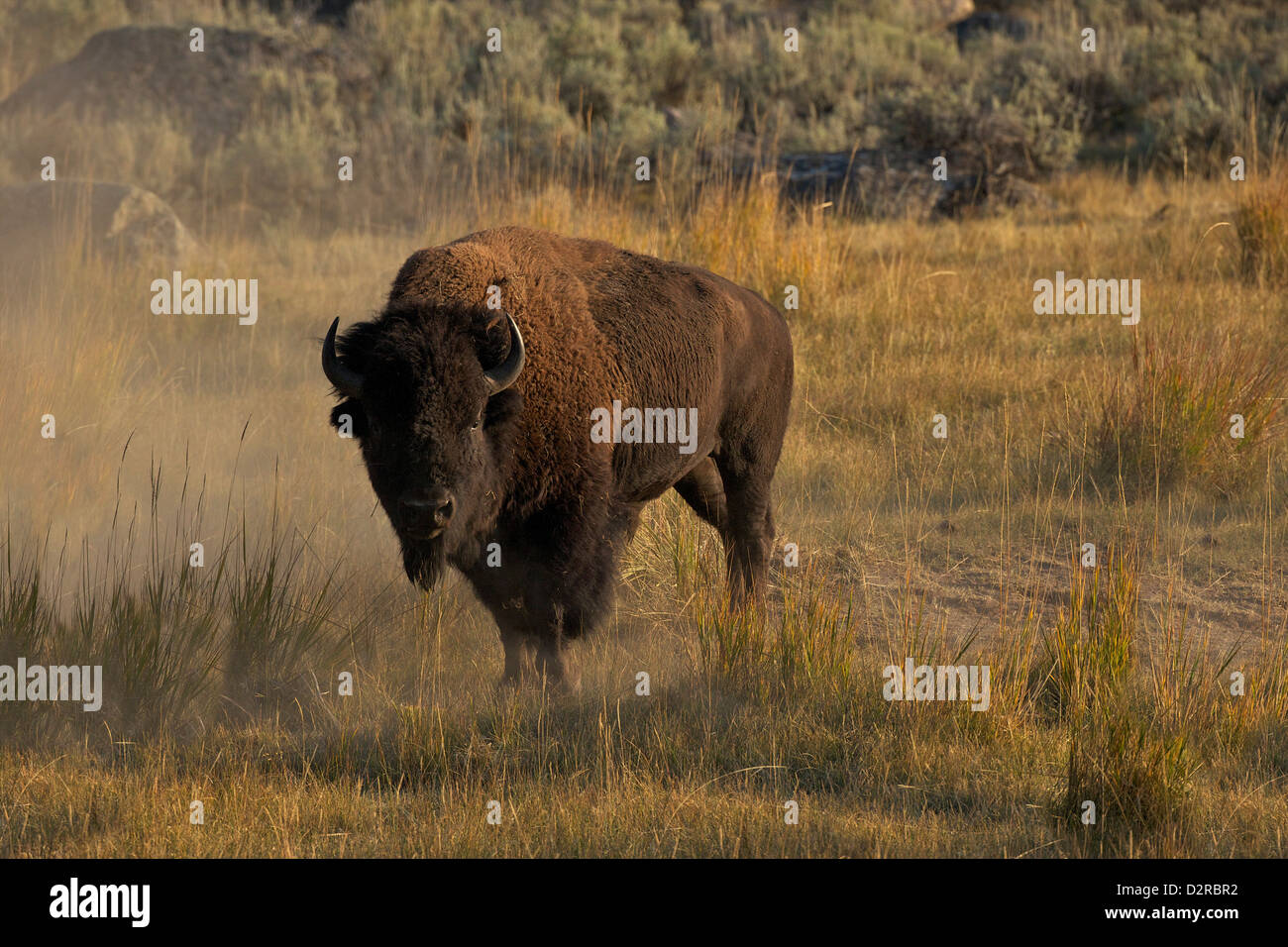 Bison in the Lamar Valley, Yellowstone National Park, Wyoming, USA - Stock Image