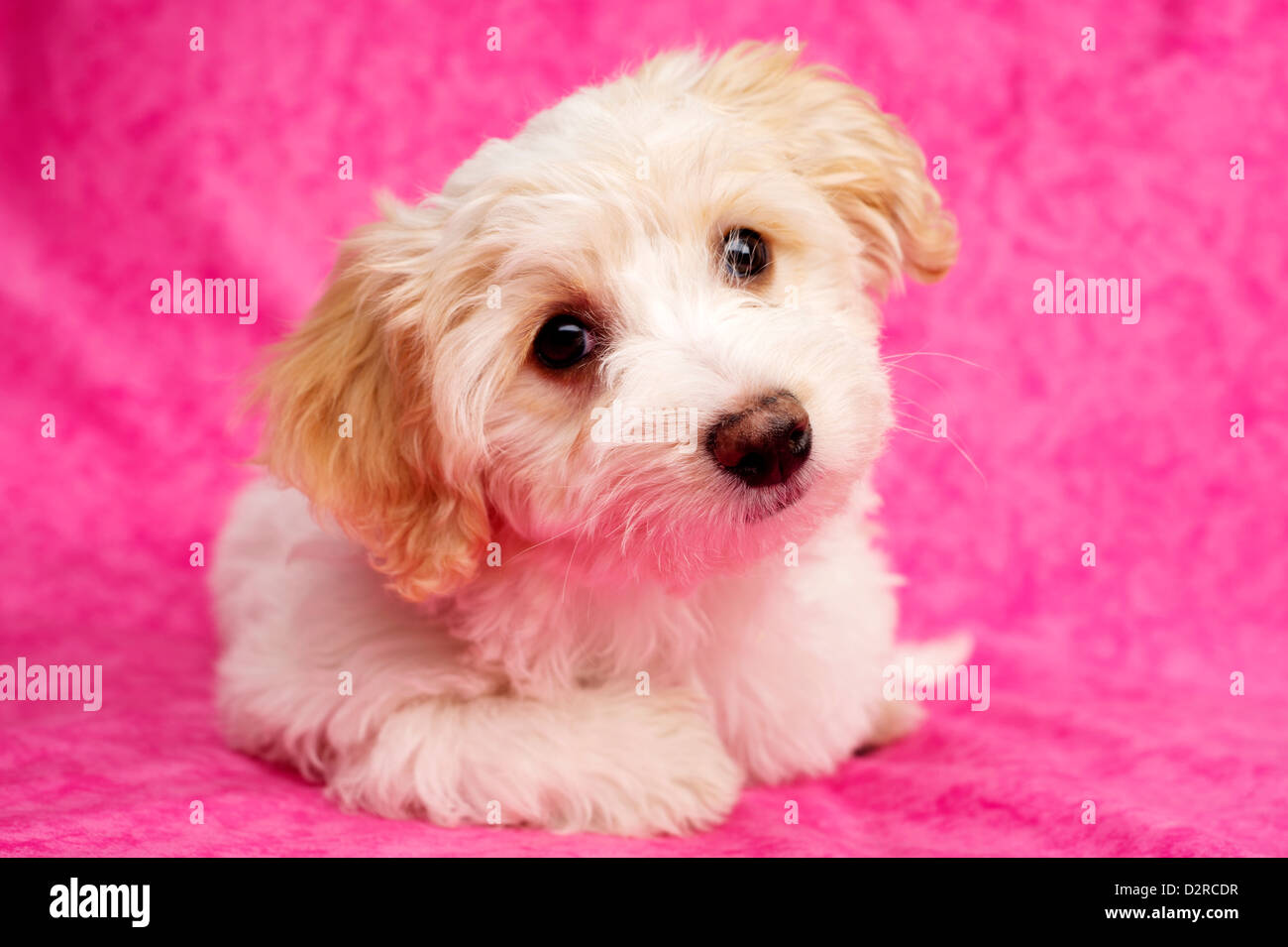 Cute Fluffy Puppies Stock Photos & Cute Fluffy Puppies Stock