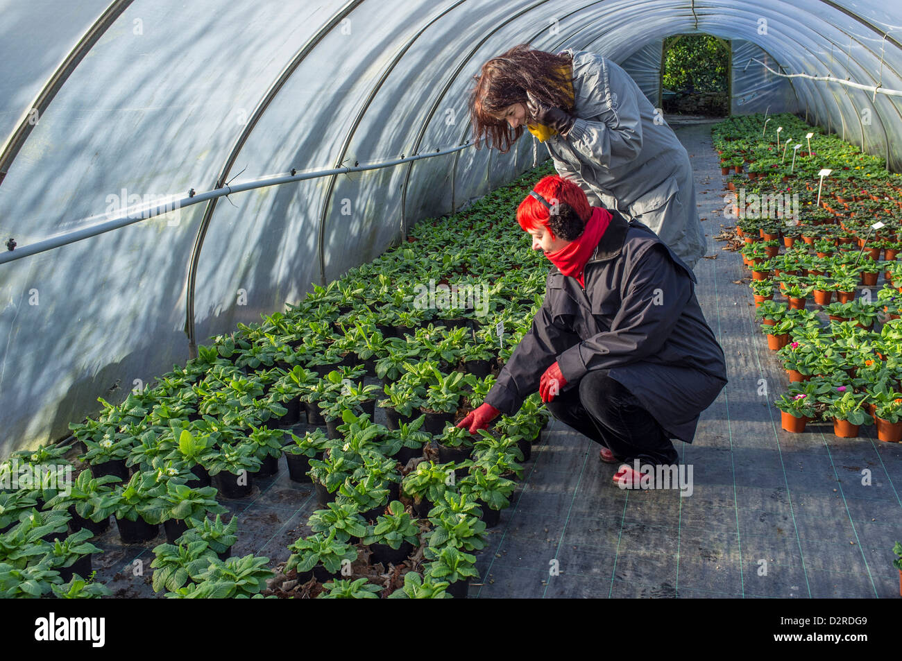 Plants being brought on in a nursery poly tunnel. South Devon. UK - Stock Image