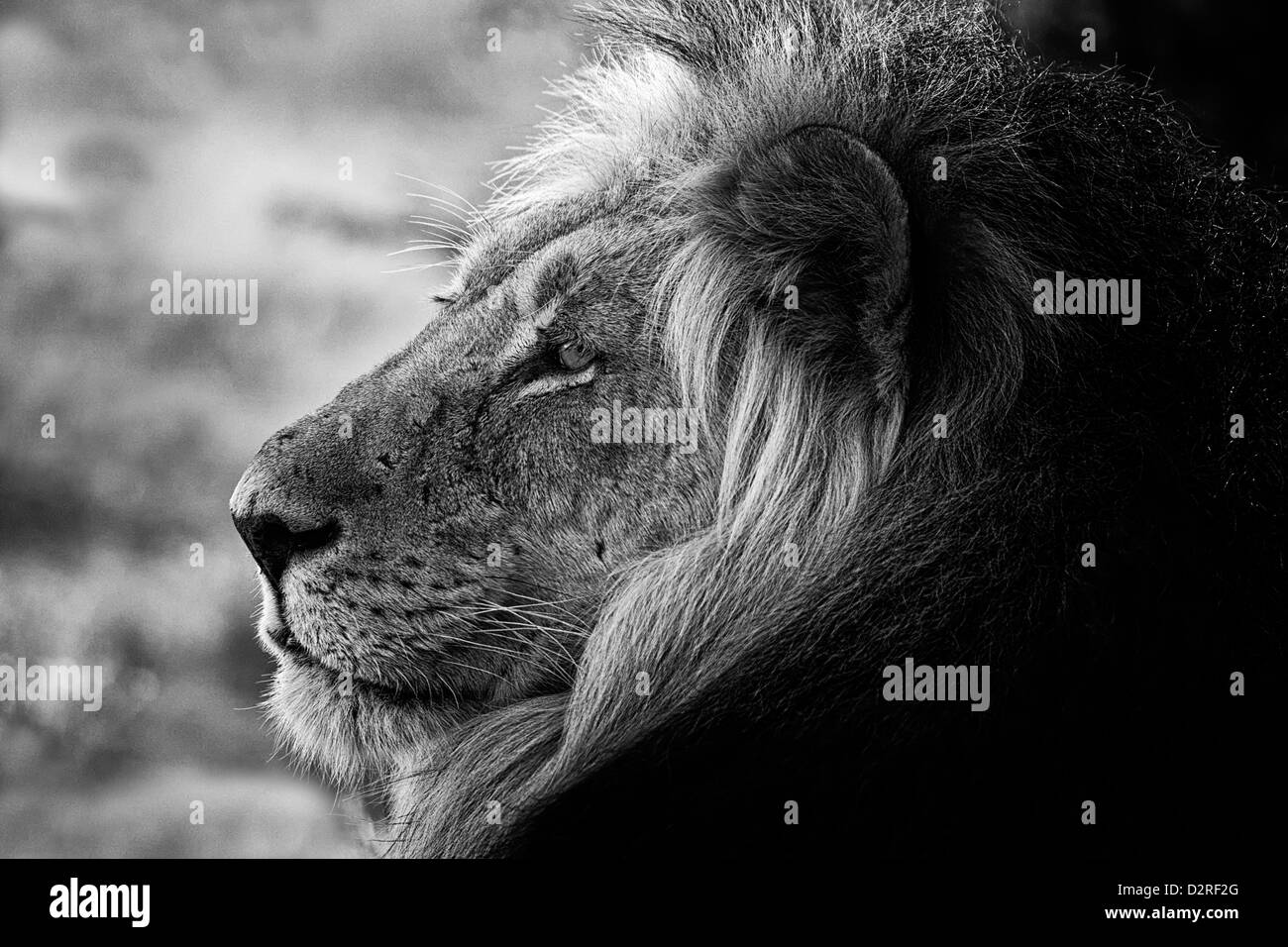 Portrait of a big male lion in black and white, Africa, Afrika, Kalahari desert. dominant, schwarz weiß, s/w - Stock Image