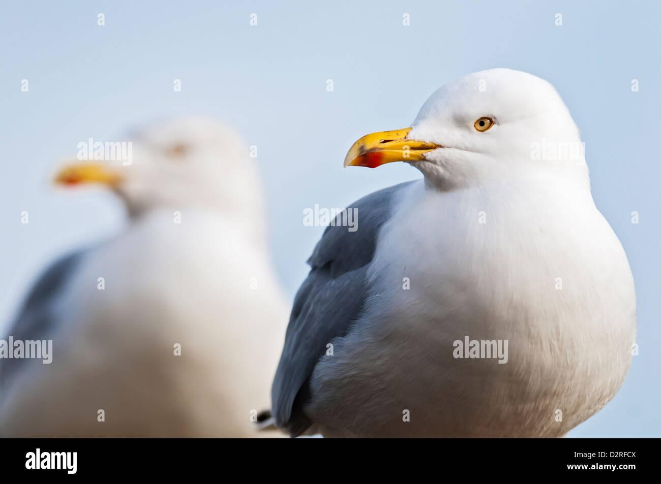 Two Herring Gulls, Larus argentatus - Stock Image
