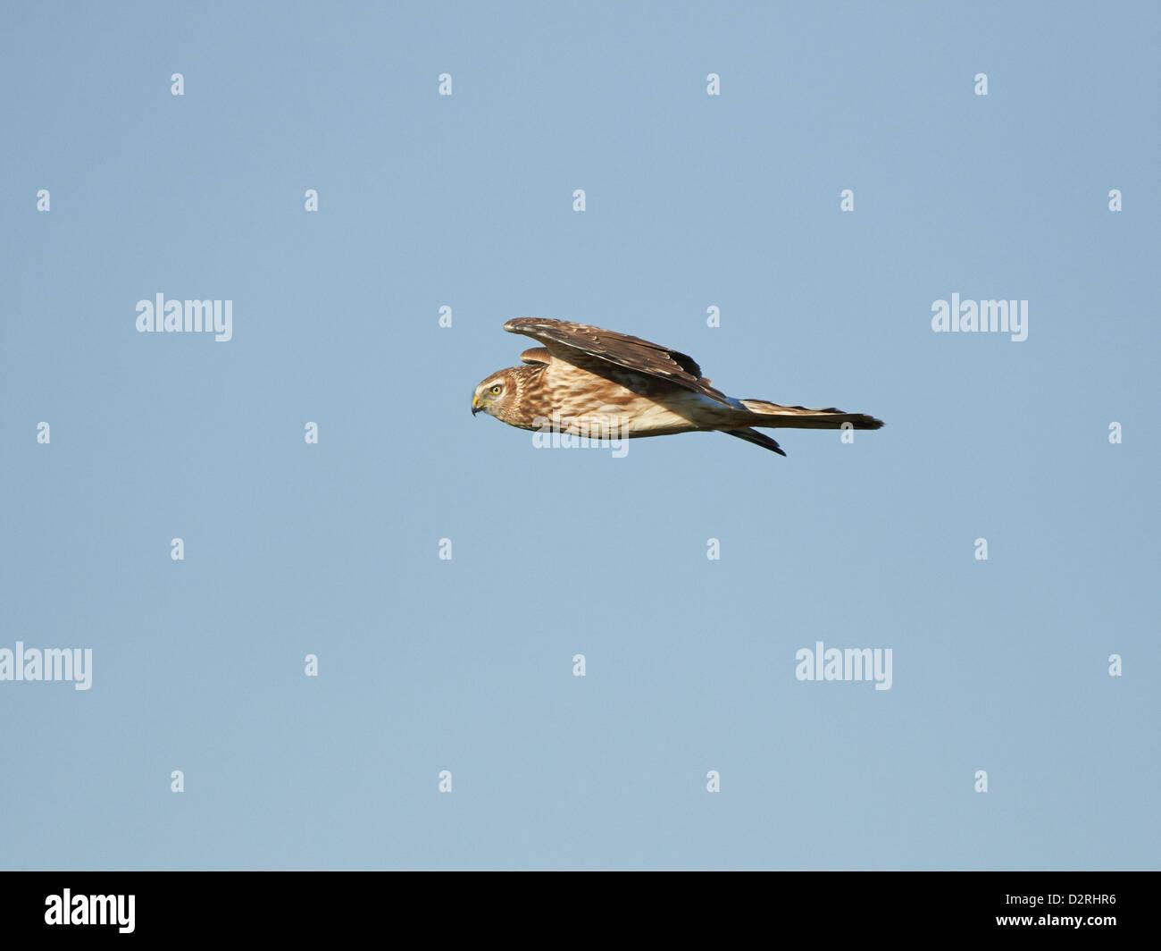 Hen Harrier in flight Stock Photo
