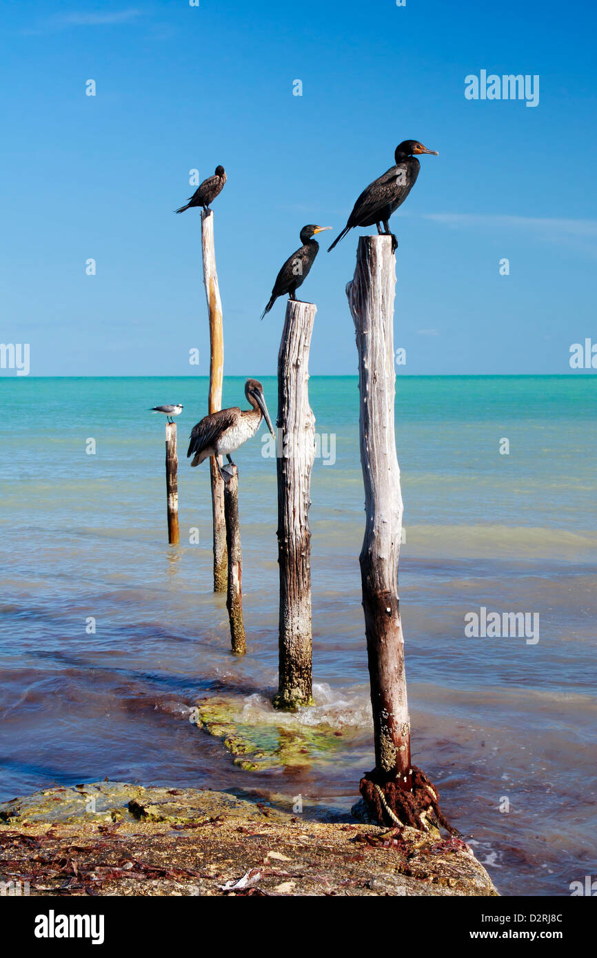 Nautical birds perched on wooden posts, Isla Holbox, Mexic - Stock Image