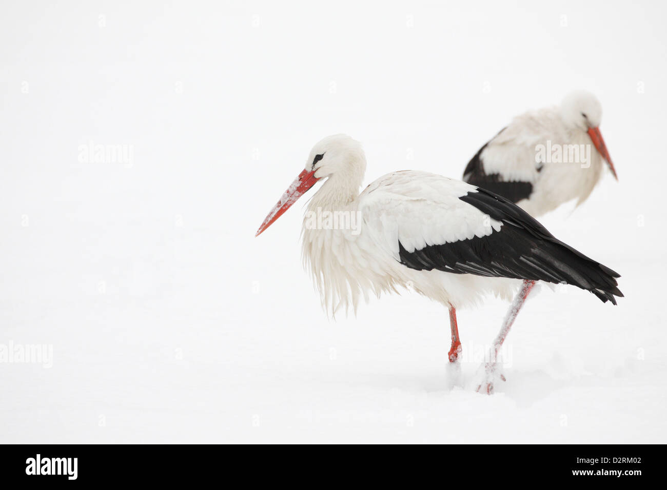White Storks (Ciconia Ciconia) in the snow, The Hague, Netherlands - Stock Image