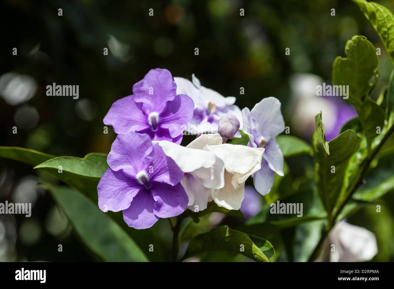 Pretty Purple And White Flowering Bush Stock Photo 53383130 Alamy