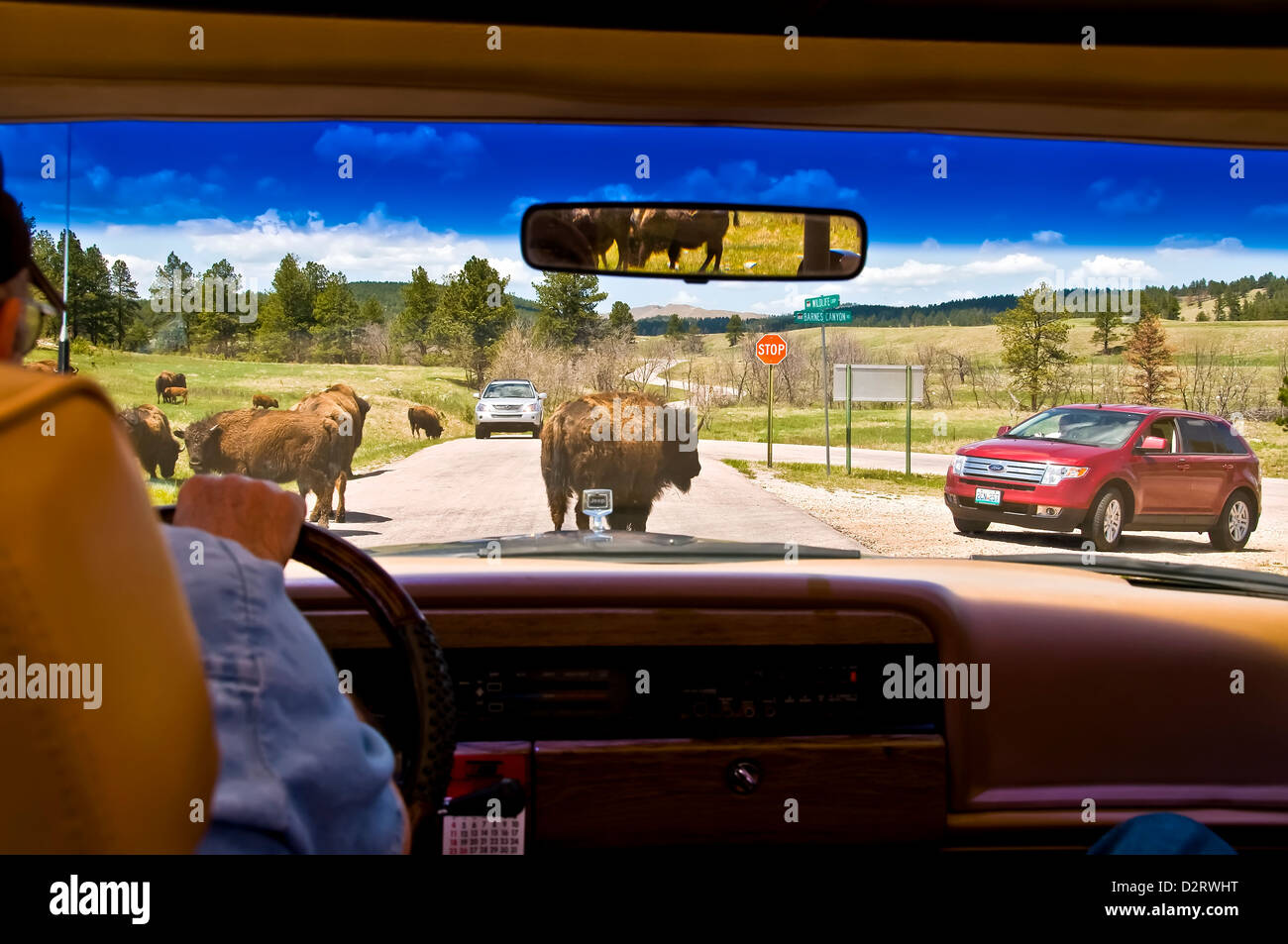 View through auto windshield watching American bison (buffalo) cross road in Custer State Park South Dakota - Stock Image