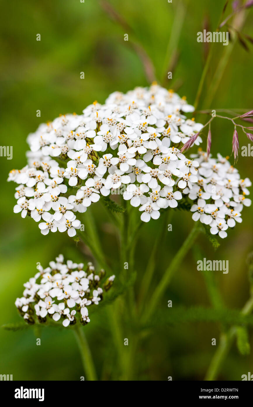 Northern Yarrow, Achillea borealis, wildflower, Kenai Peninsula, Alaska, USA - Stock Image