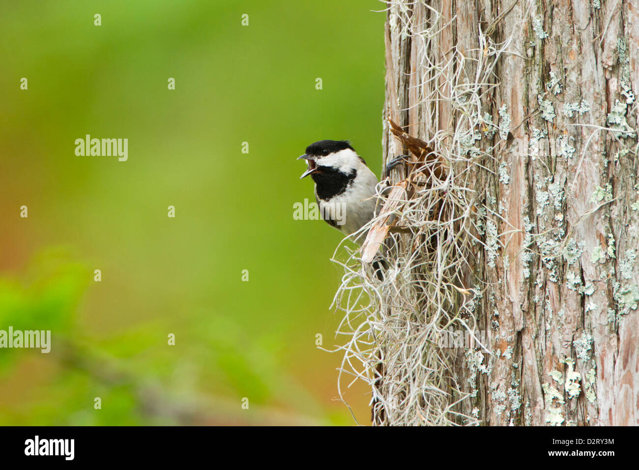 Carolina Chickadee (Poecile carolinensis) adult male singing on territory, May - Stock Image