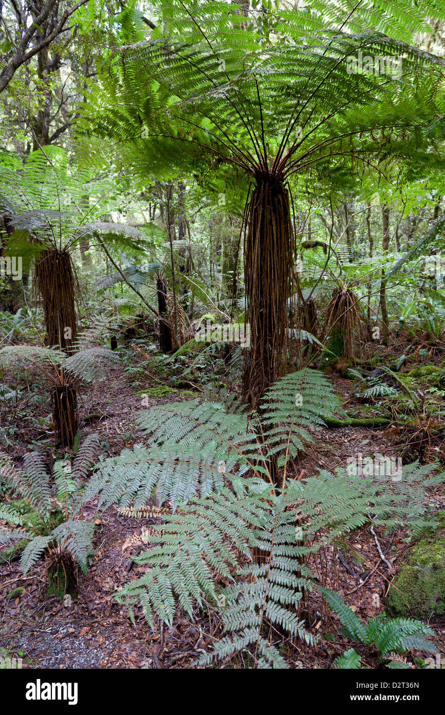 Ferns at the Southern Island in New Zealand - Stock Image
