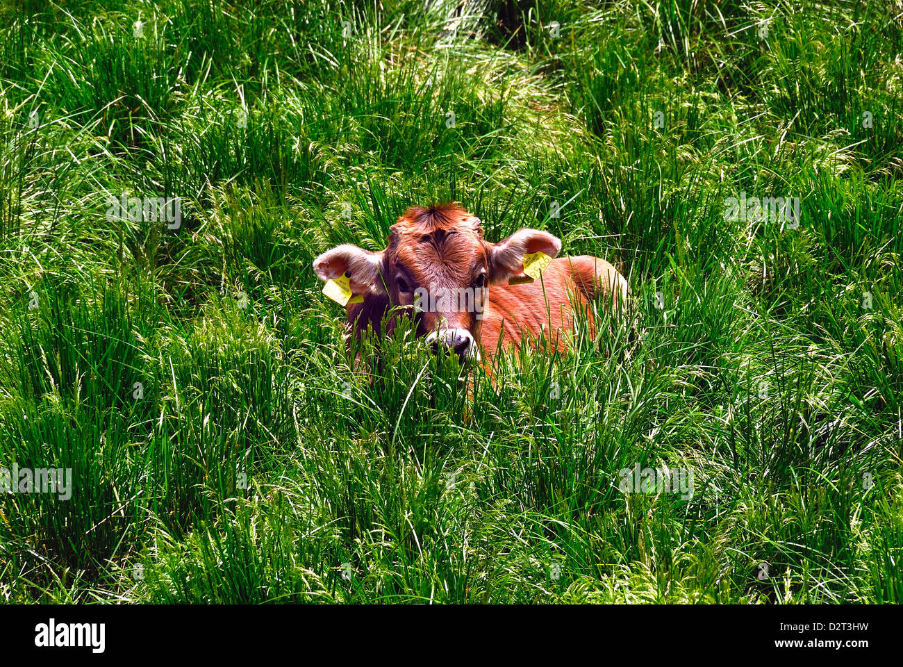 Val Lepena, Slovenia : a calf is crouching in the tall grass of the mountain pasture. - Stock Image