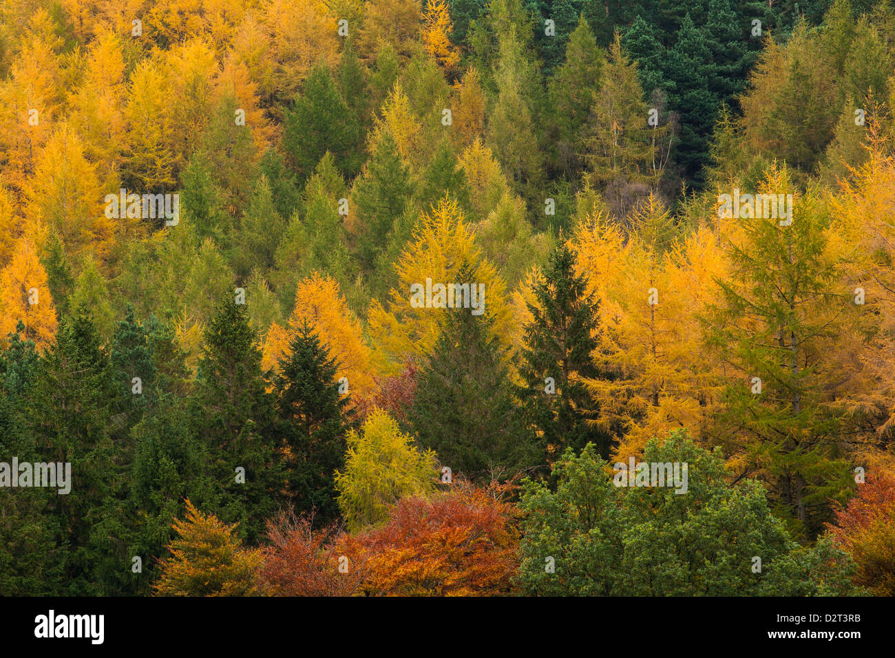 Variety of coniferous tree colours in autumn, Lake District National Park, Cumbria, England, United Kingdom, Europe - Stock Image